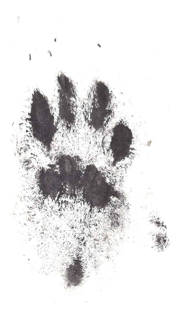 Rabbit Paw Print